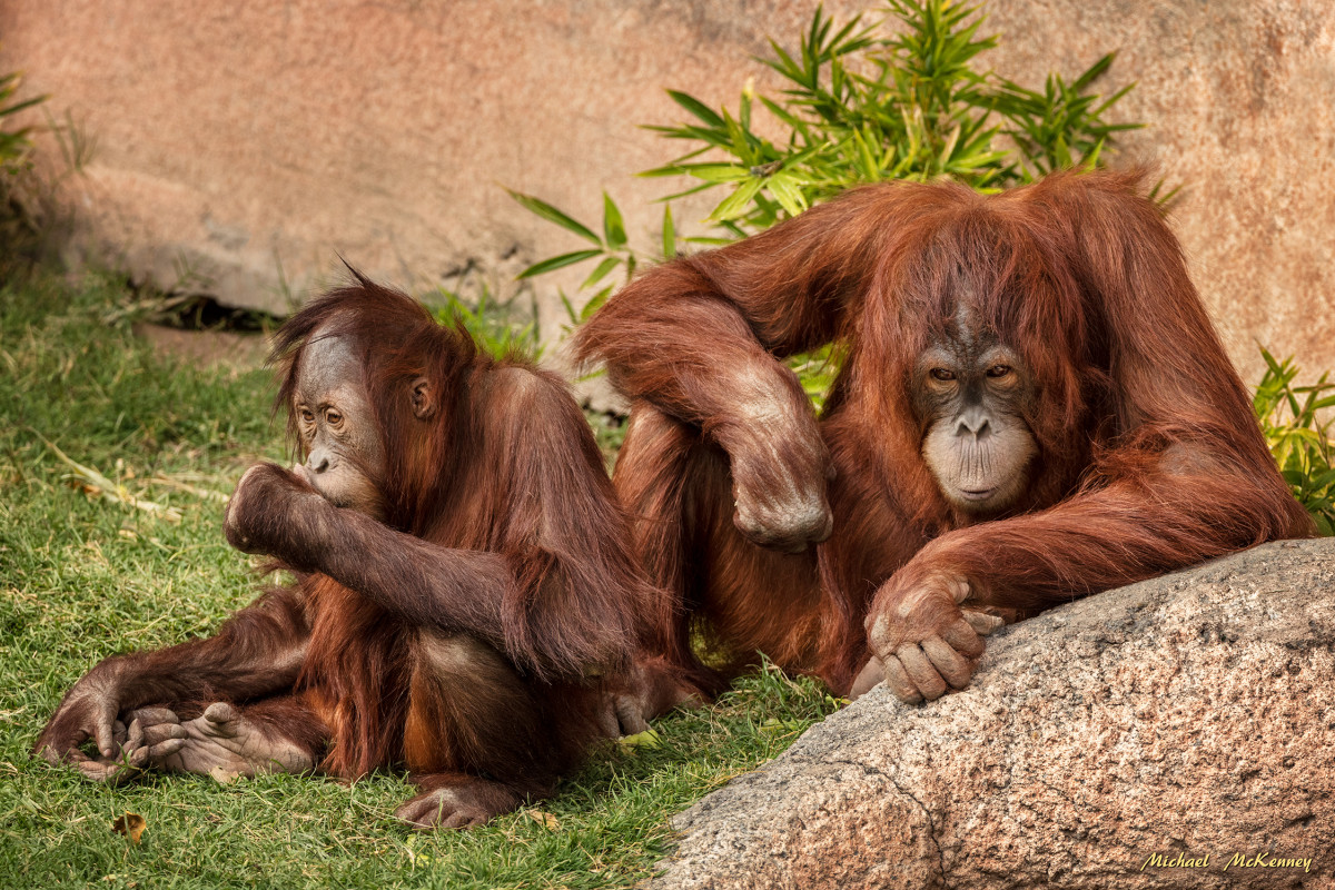 Every time we publish a photo of orangutans that were taken at the Albuquerque Zoo, there are always people who think it is cruel to keep them in captivity.  Putting them back in the wild would be like telling a young child to run onto a highway.