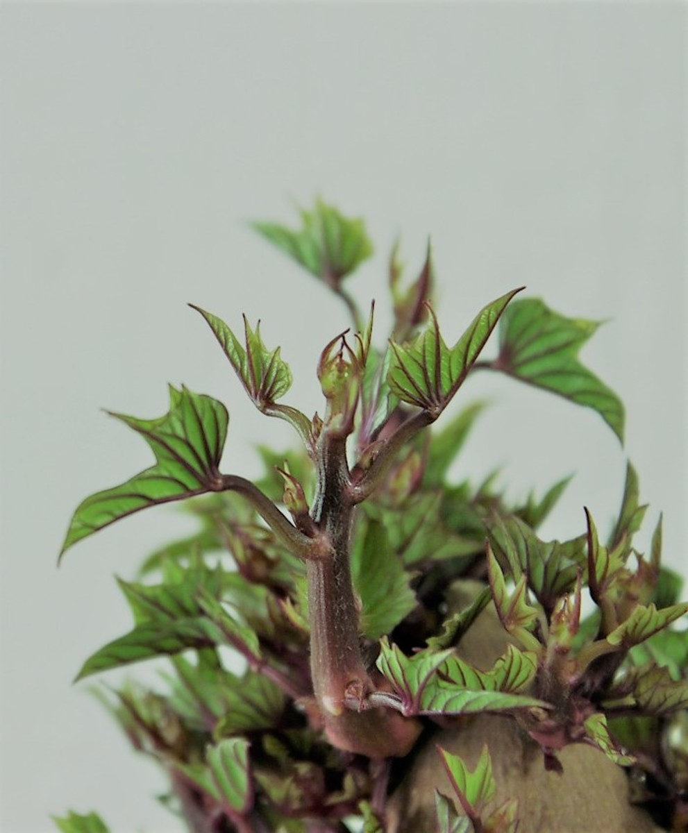 young sweet potato plant