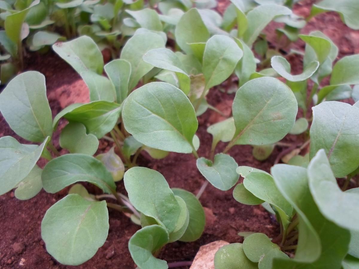 young arugula plant