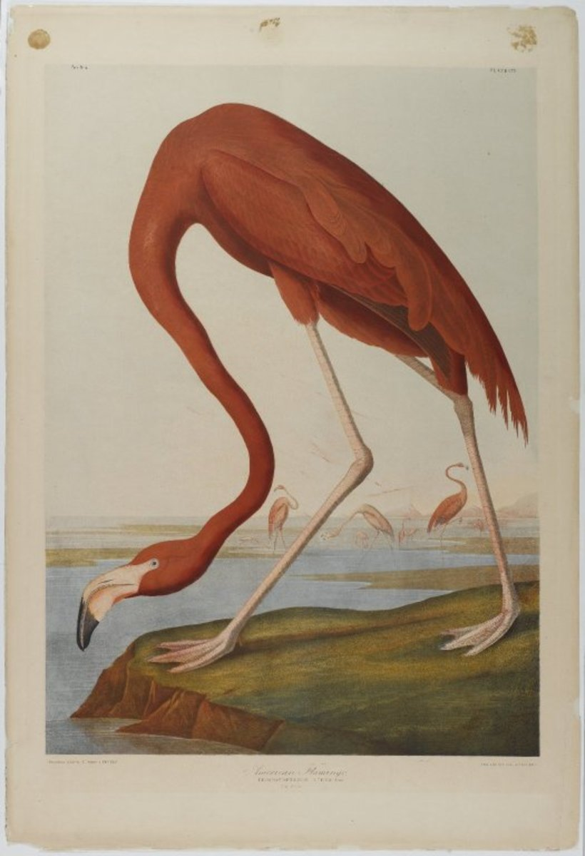 An American Flamingo by John James Audubon