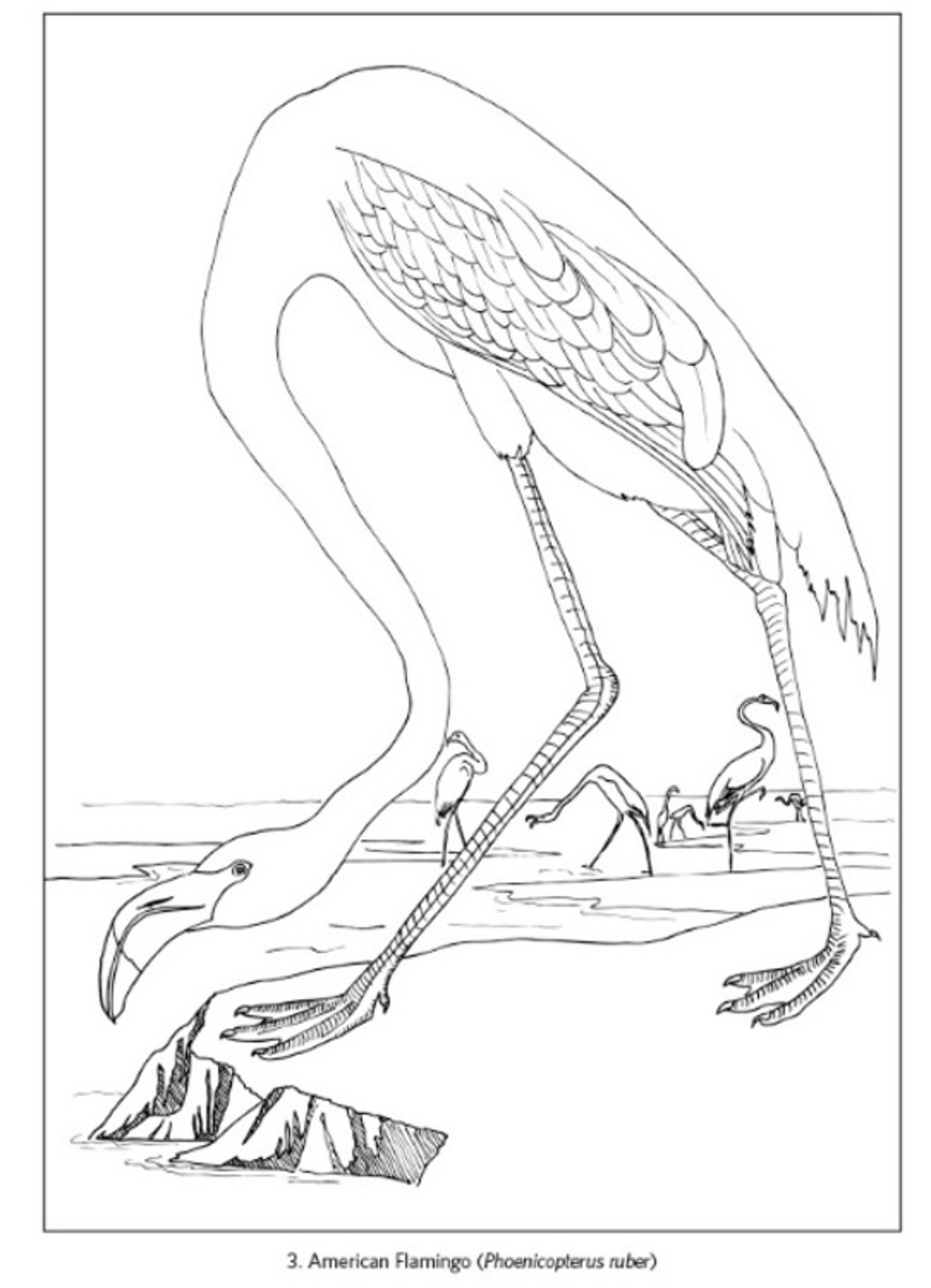 Painting page of American Flamingo by John James Audubon