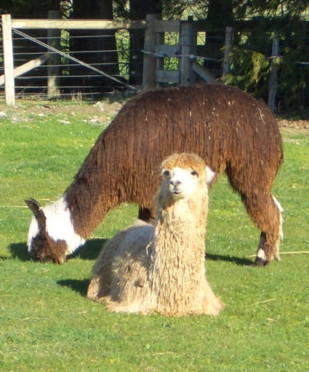 Two young male Suri alpacas.