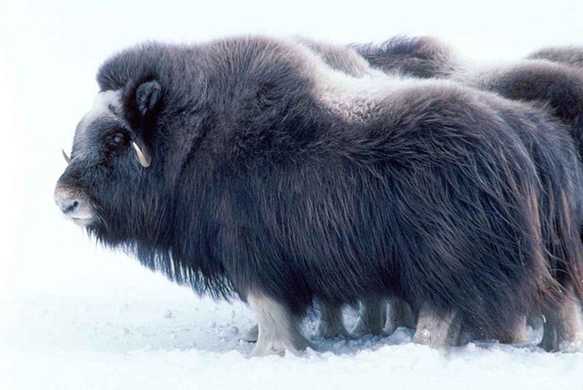 Large mammal musk ox.