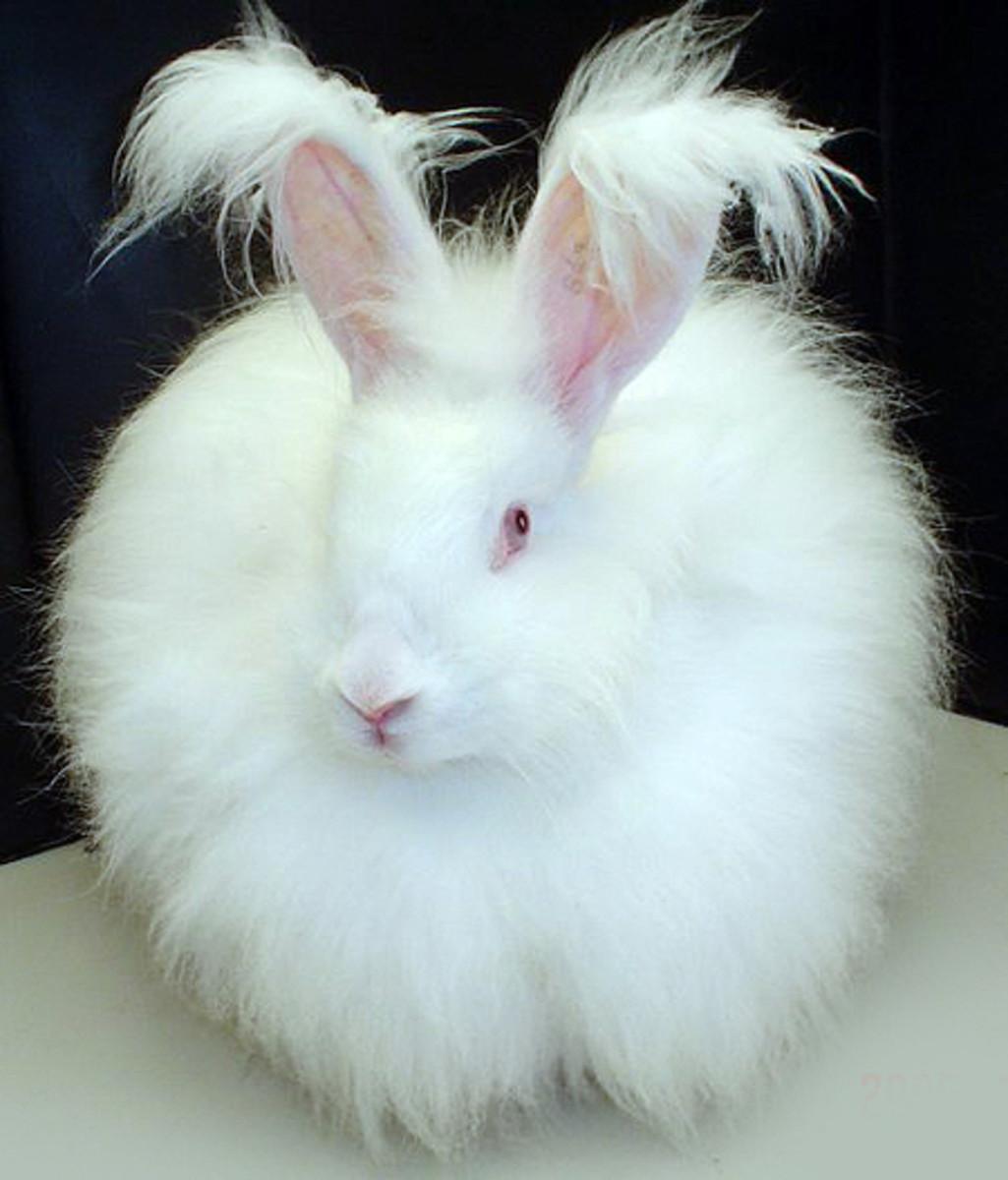 Albino angora rabbit.