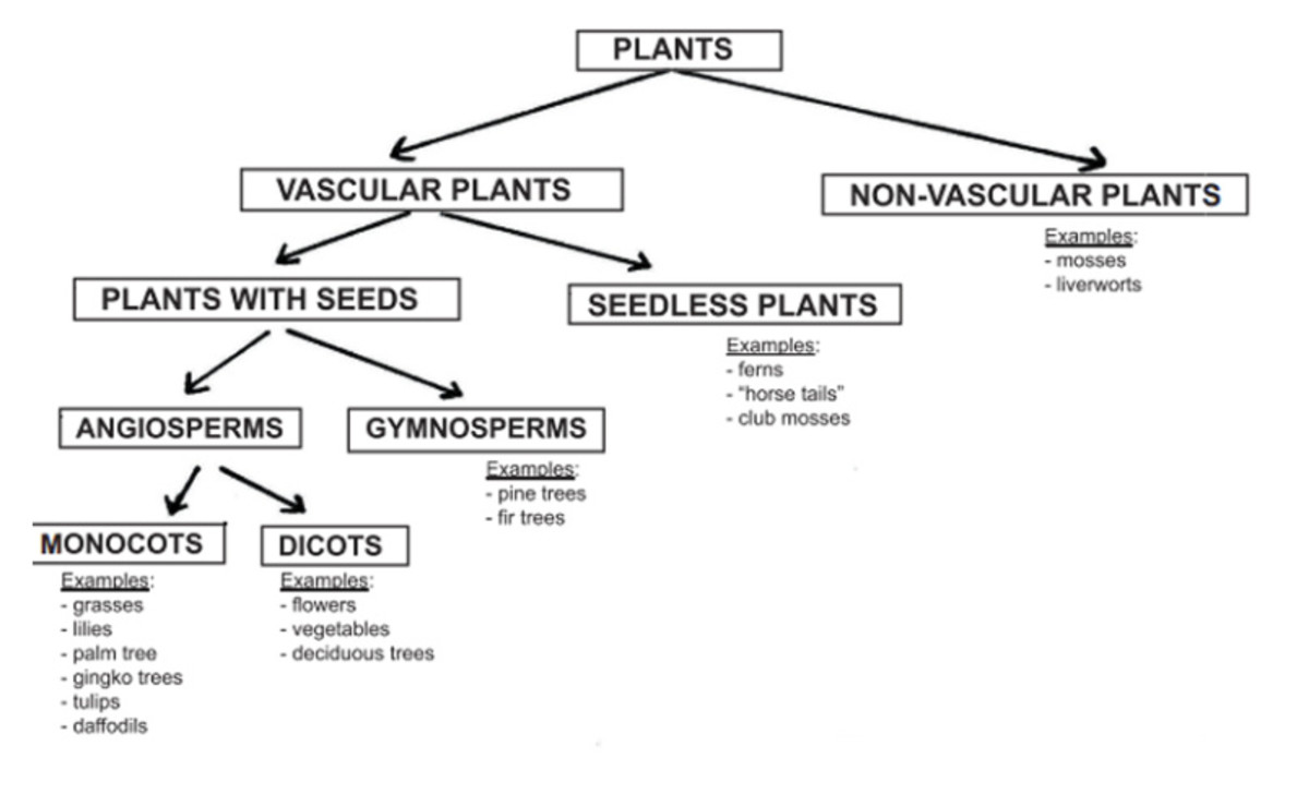 The plant classification chart came from https://www.easypacelearning.com/science/plants/plants/1332-plant-classifications-of-flowering-and-non-flowering-plants .