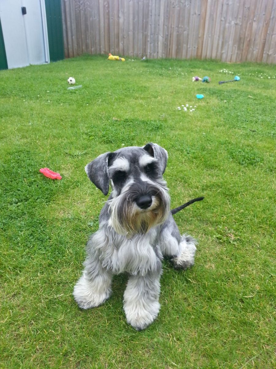 This is a salt and pepper miniature schnauzer