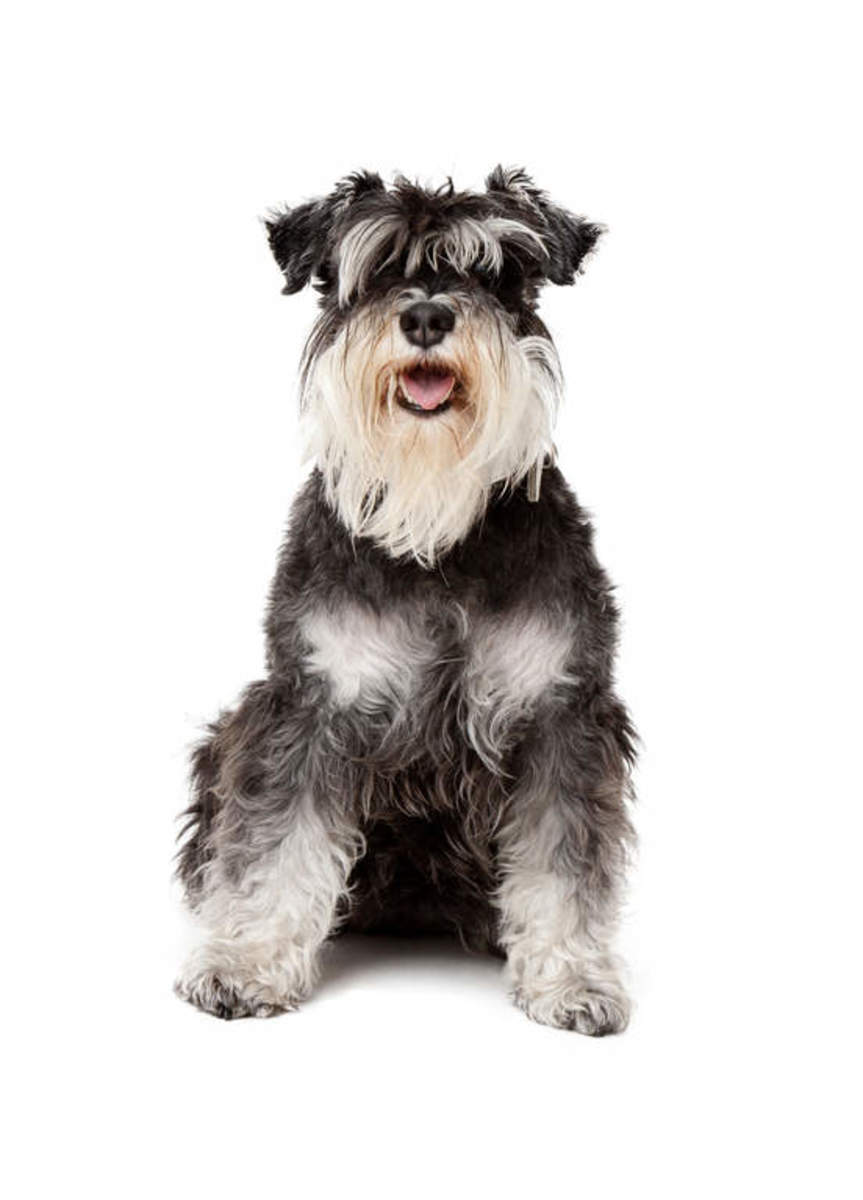 Here is a photo of a black and white miniature schnauzer