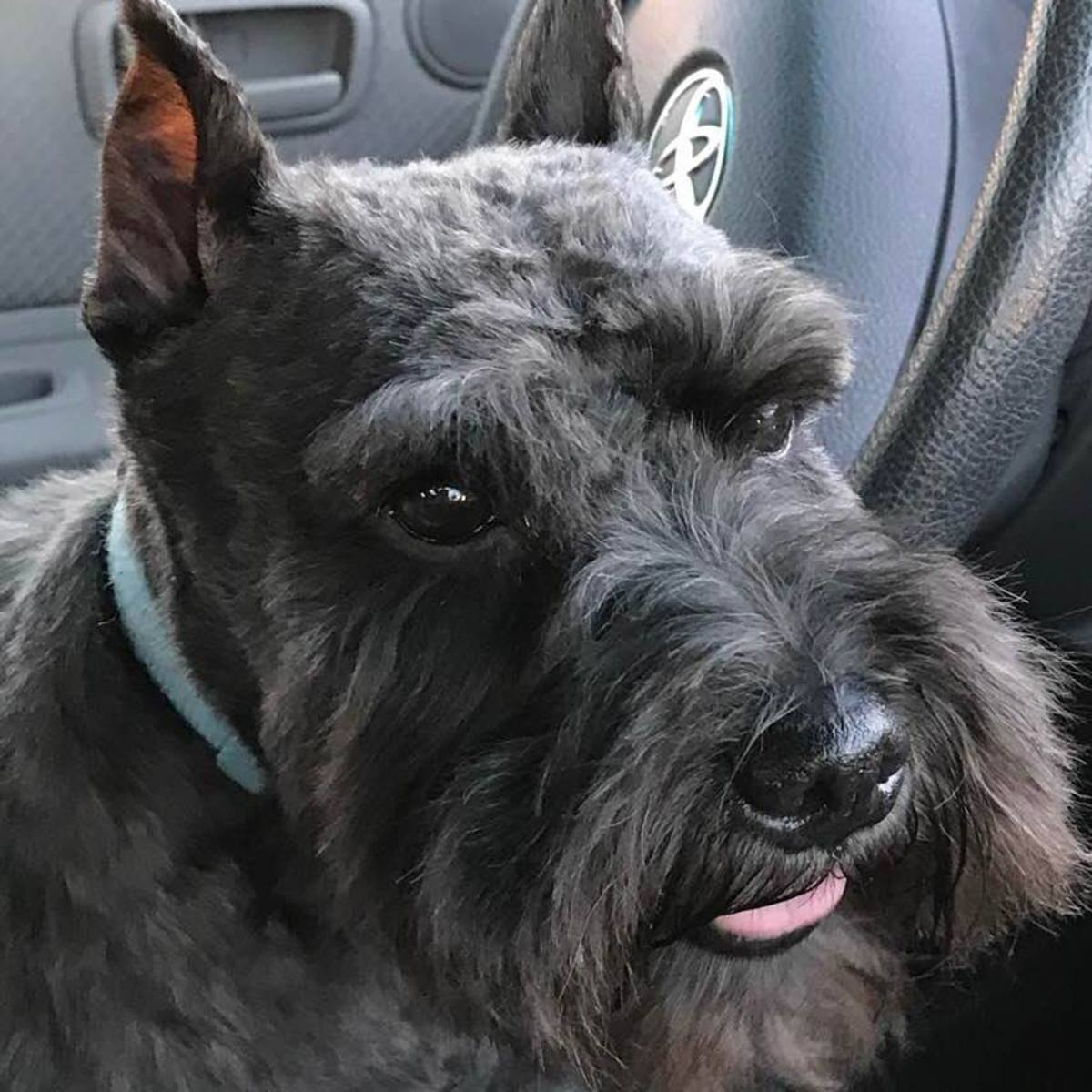 Miniature Schnauzers Are The Perfect Choice For Any Family