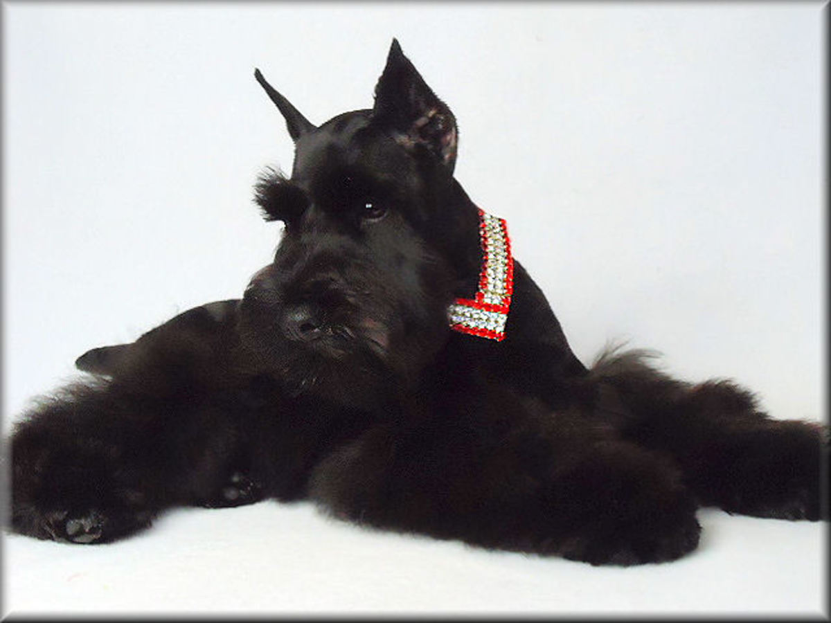 Here is a picture of a black miniature schnauzer.  My Rowdy is black.