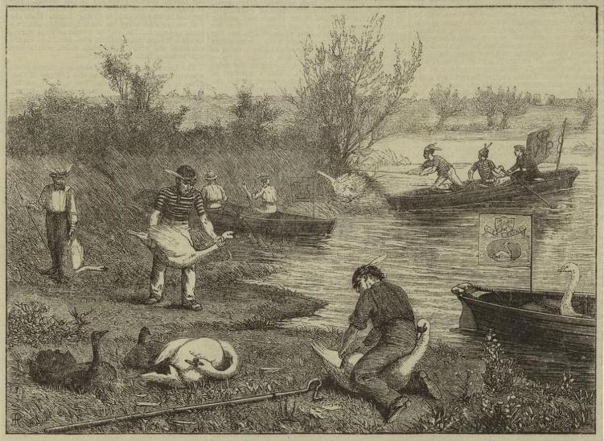 """""""Swan Hopping"""". Swan upping on the Thames, 1875 illustration Henry Robert Robertson (1839 - 1921), Life on the upper Thames, Virtue, Spalding, and co., London, 1875, p. 160, Engraved by Williaw J. Palmer on drawings on wood by Henry Robert Robertson"""