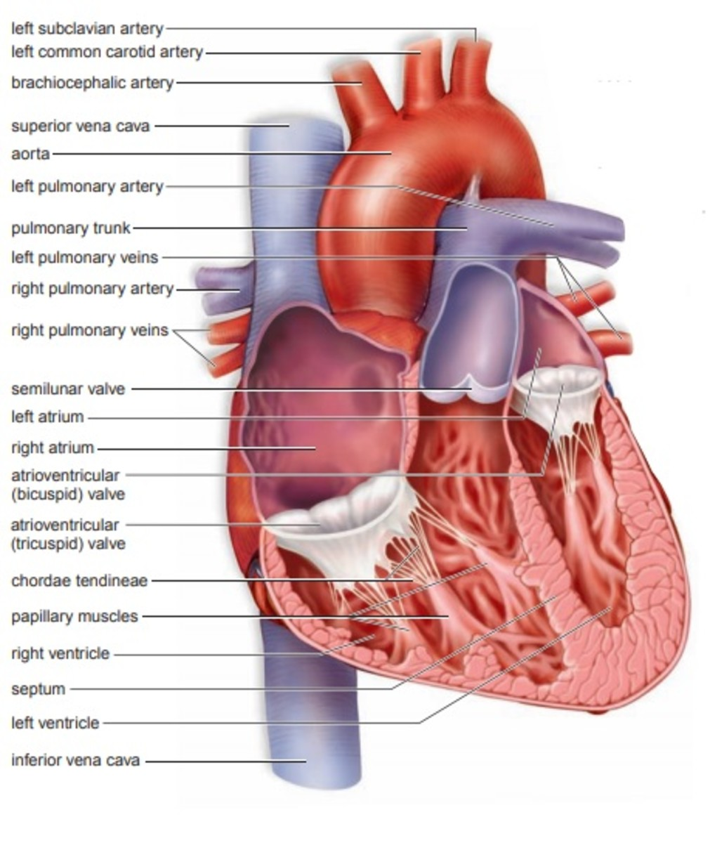 cardiovascular-system-heart-and-blood-vessels