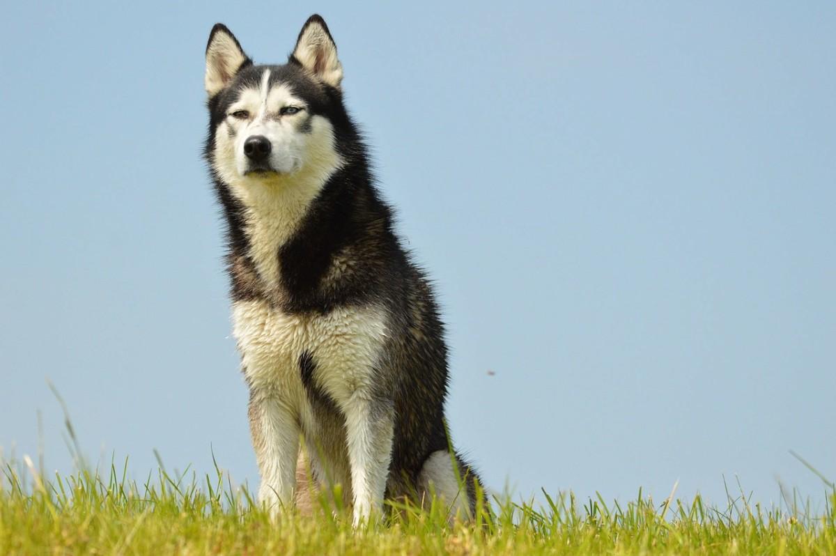 Husky Greyhound Mix