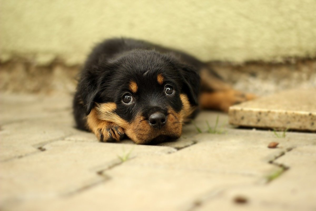 Shih Tzu Rottweiler Mix - Learn About the Shihweiler