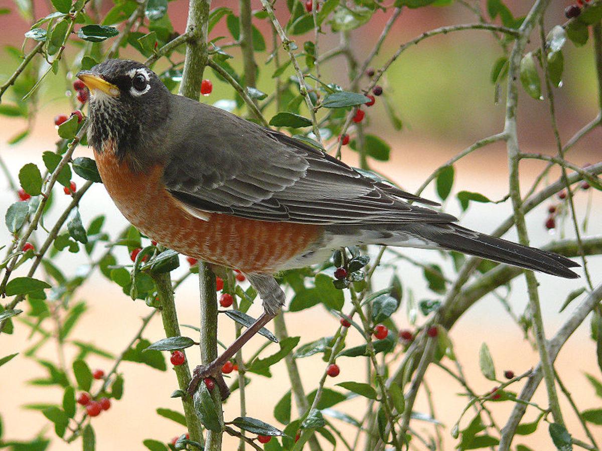 A robin feeding in a female weeping yaupon tree.