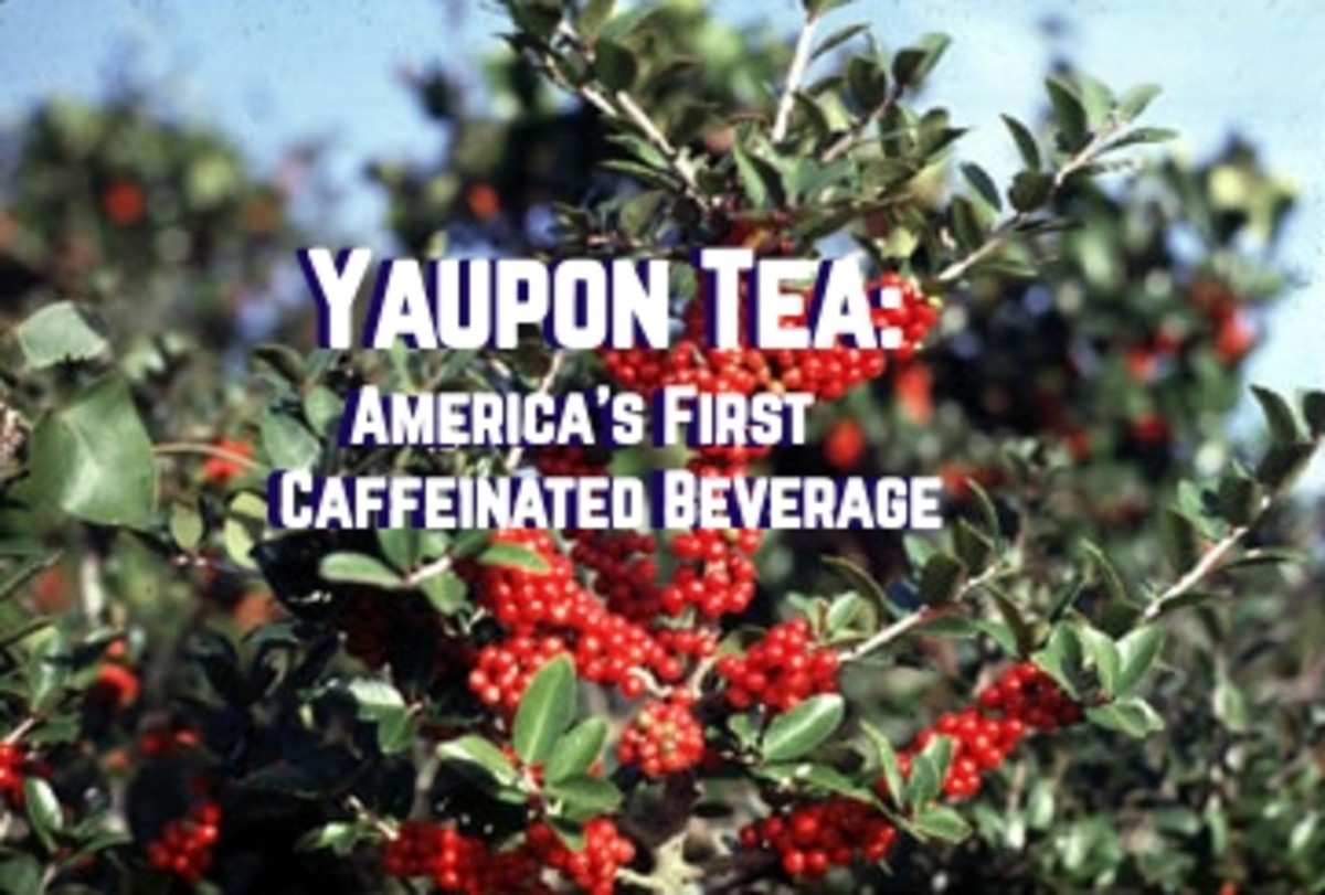 Yaupon Tea, America's First Caffeinated Beverage