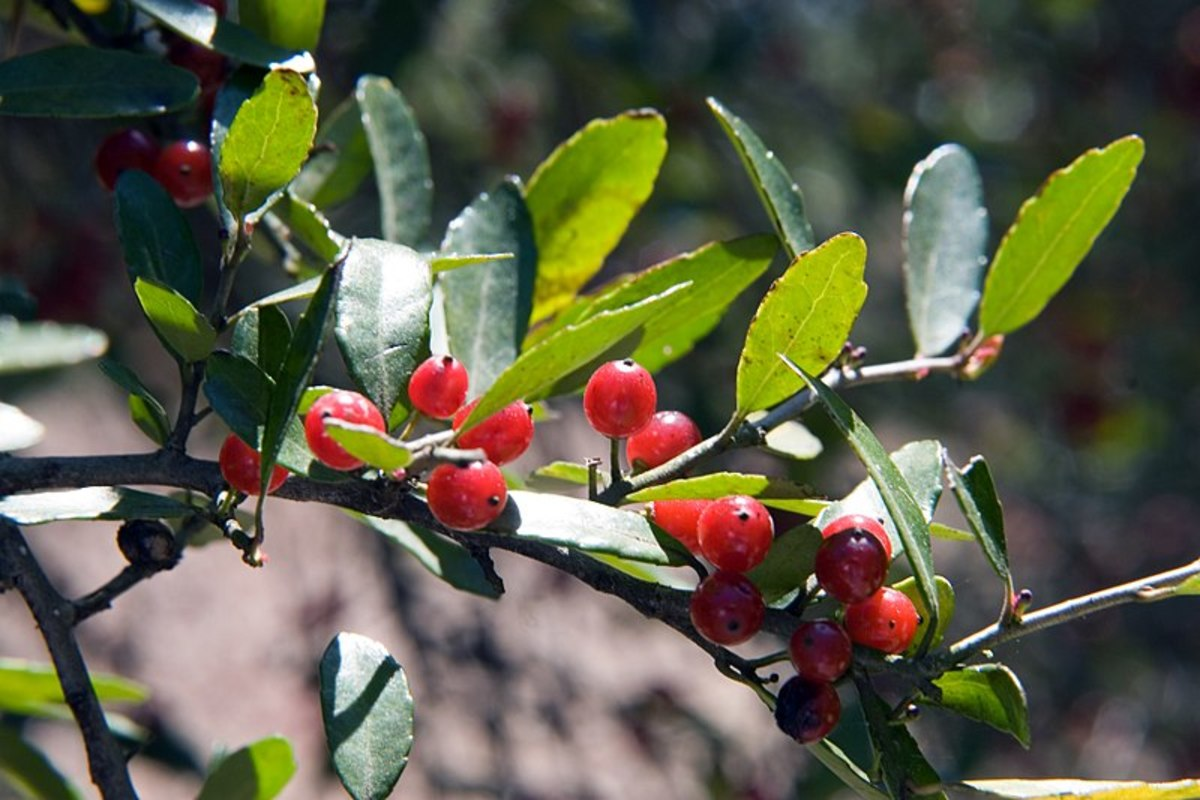 The oval leaves are gently serrated. Berries may be red, yellow, or absent.
