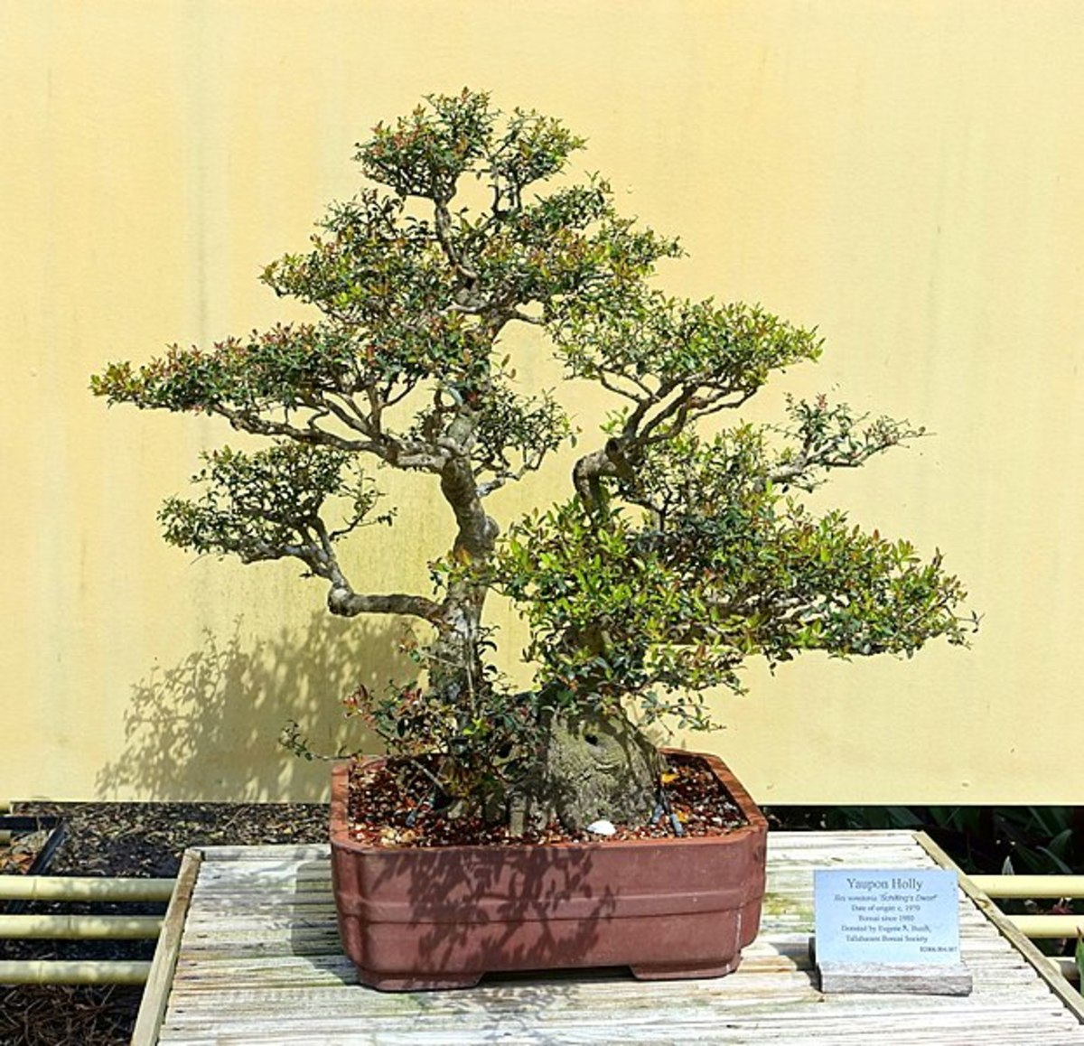 A beautiful bonsai version of the dwarf variety of yaupon holly.