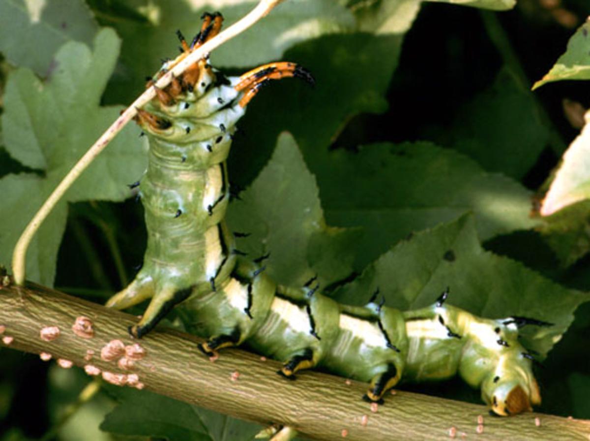 "Regal moth caterpillar, AKA ""The Hickory Horned Devil"""