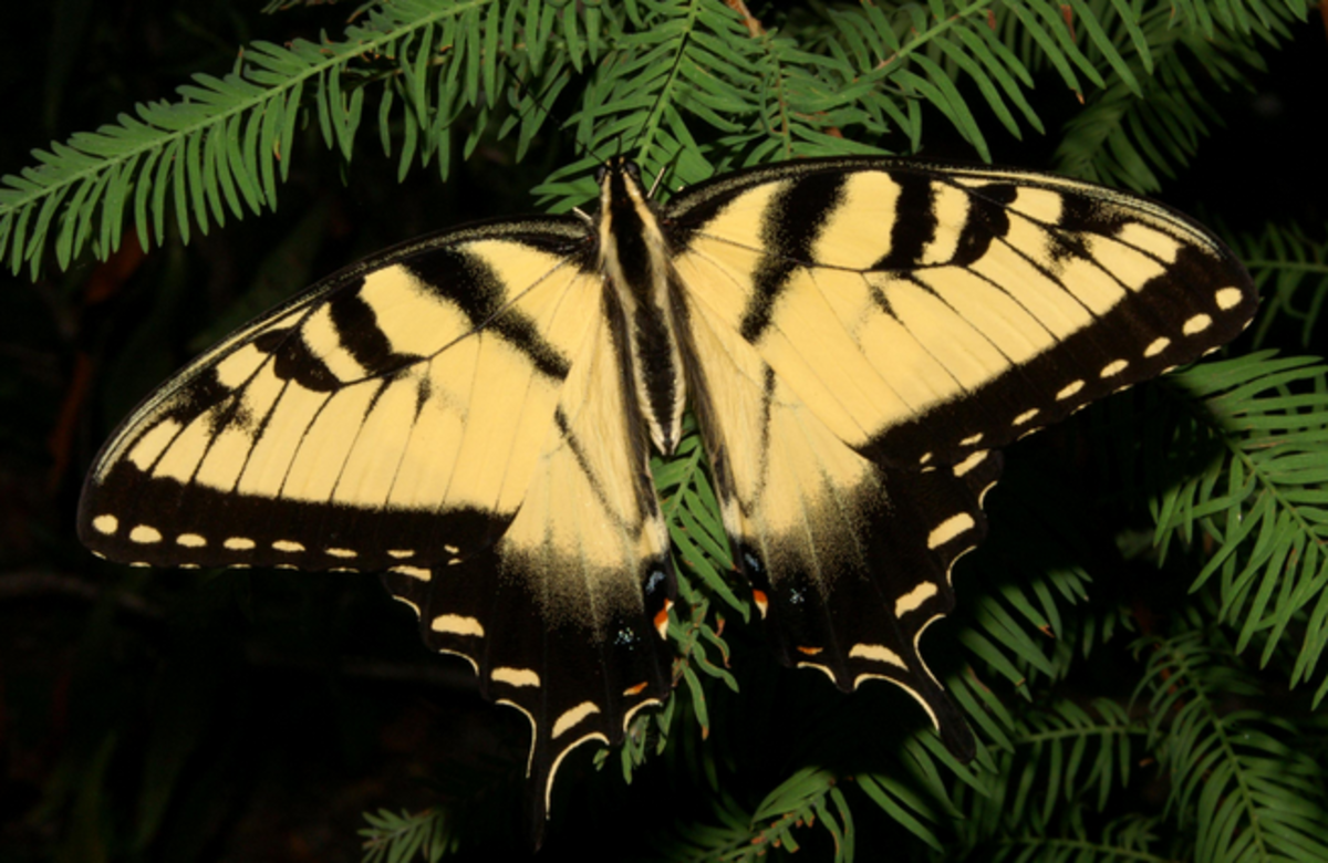 The beautiful adult tiger swallowtail