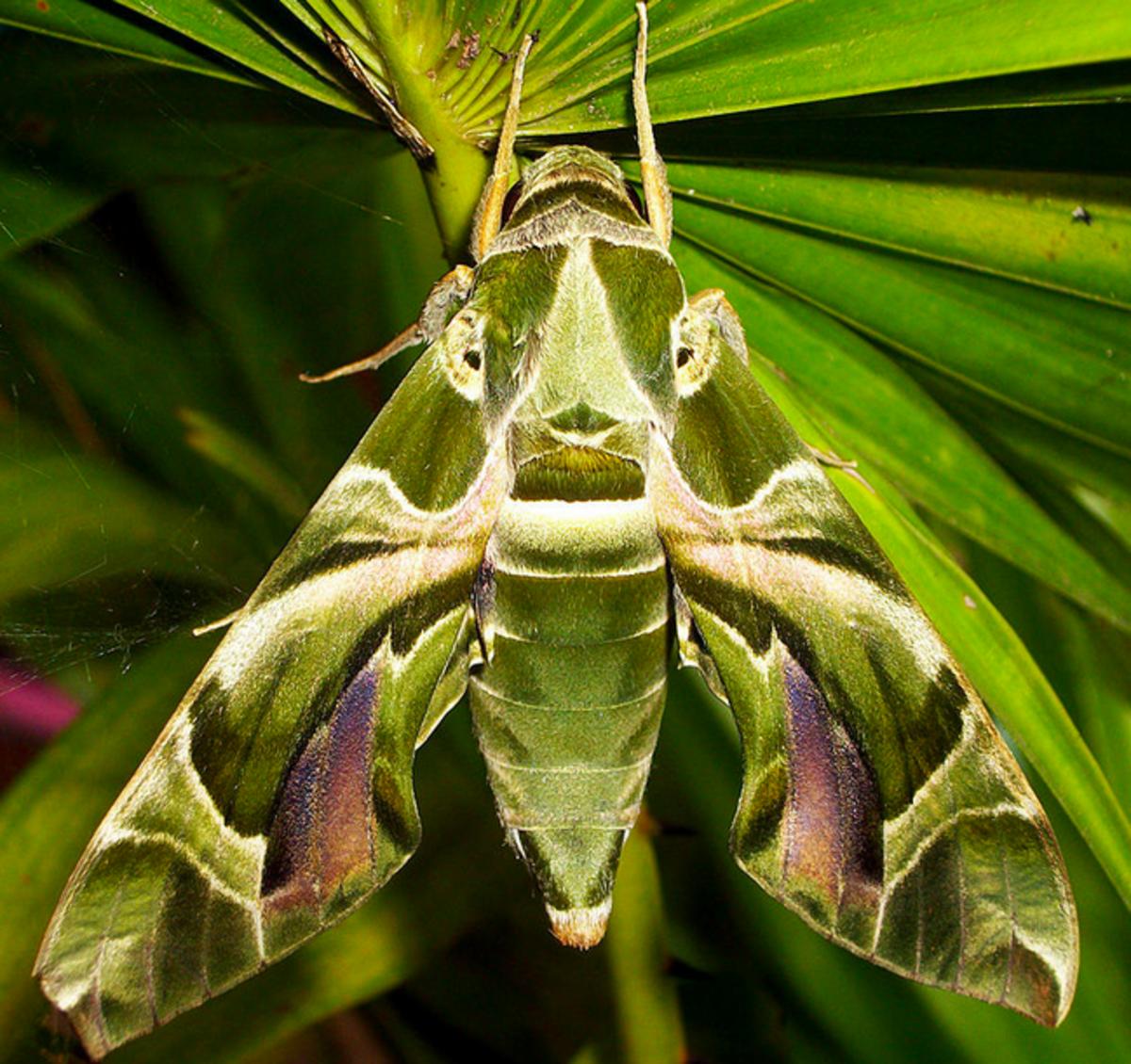 Oleander hawk moth: Daphnis nerii