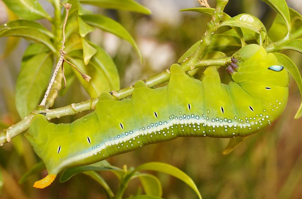 The beautiful oleander hawk-moth is endemic to Europe
