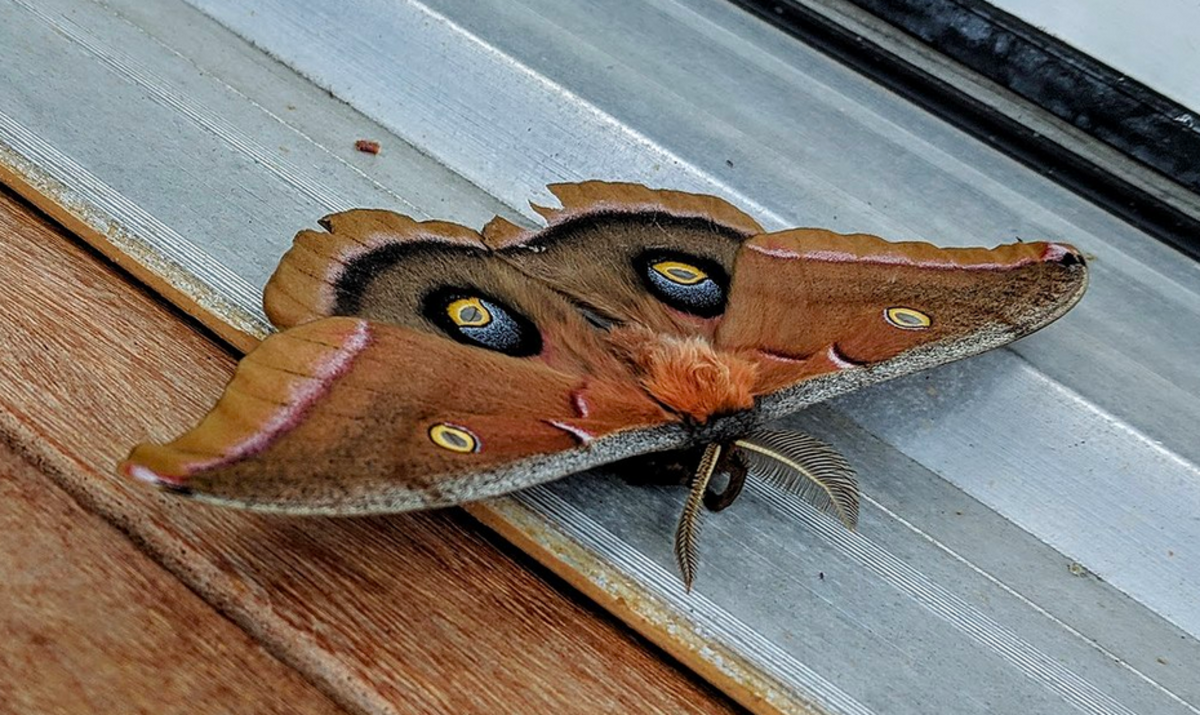 The polyphemus moth has a huge green caterpillar