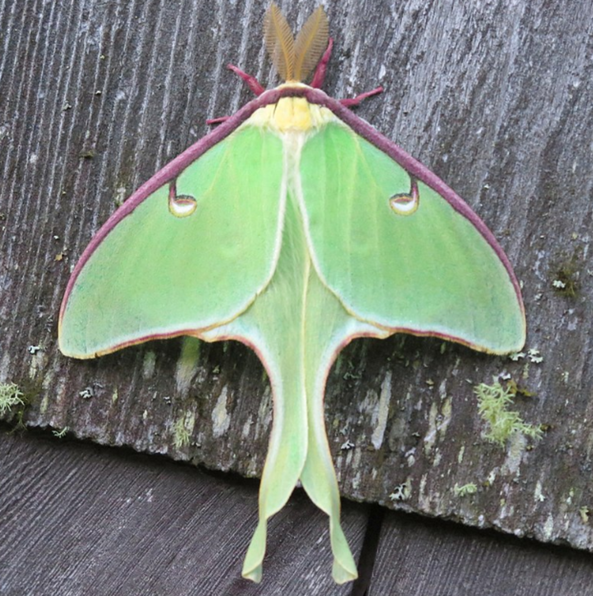 The other-worldly luna moth often comes to lights