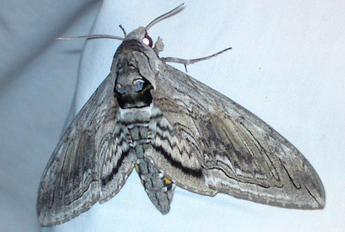 A tomato hornworm moth. You're much more likely to see the big green caterpillars than the adult moth.