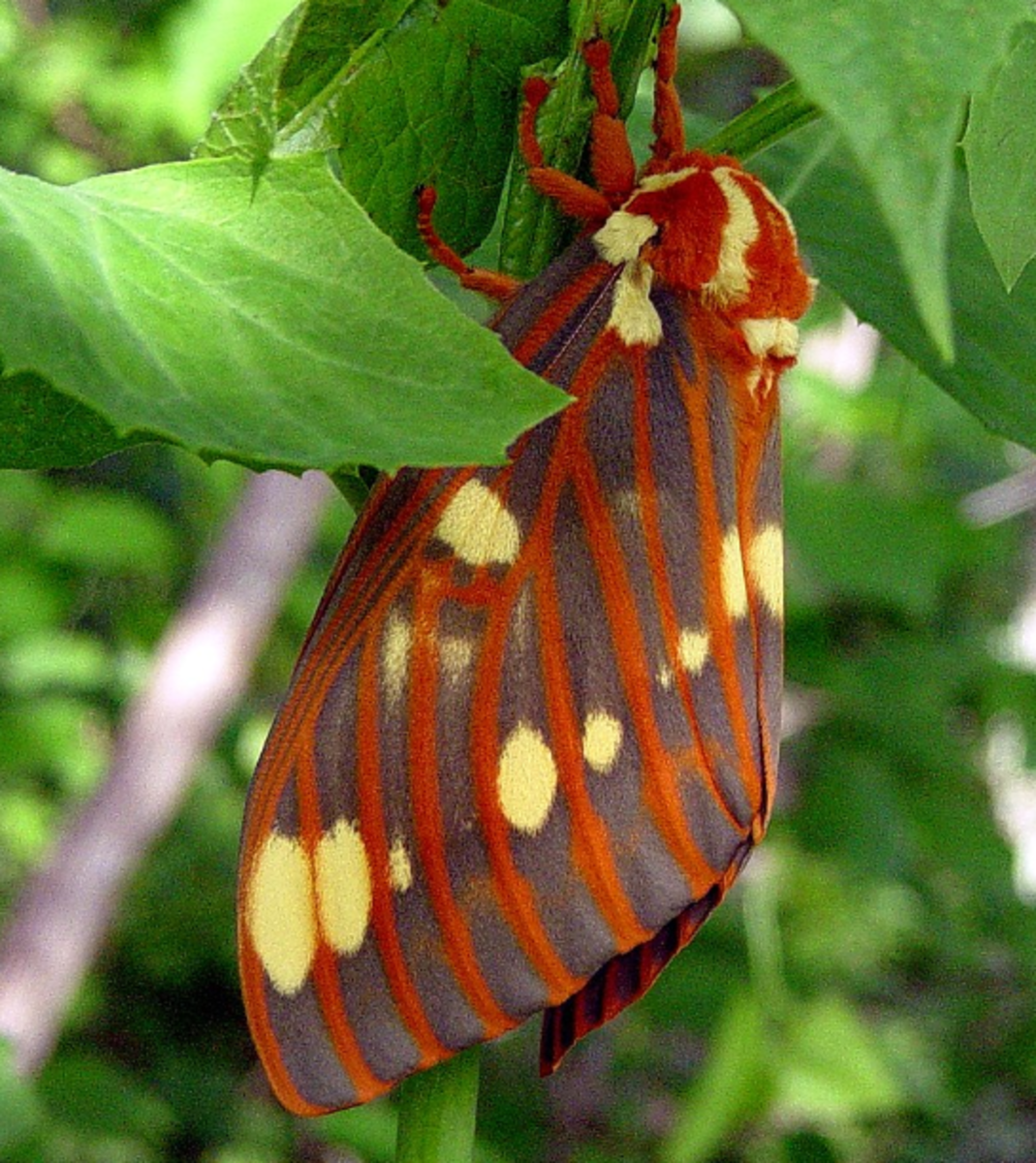 The gorgeous regal moth, Citheronia regalis