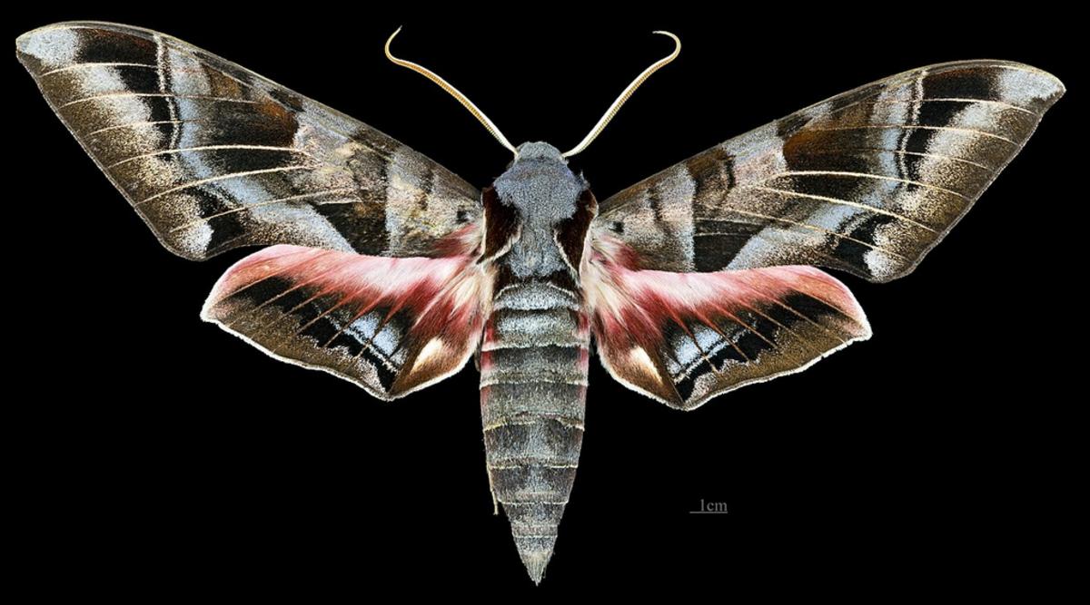 big-caterpillars-an-identification-guide