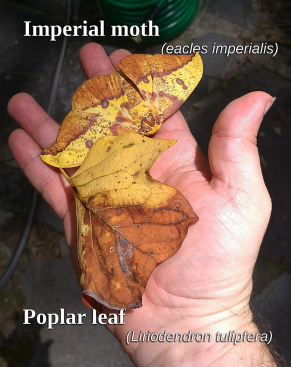 The amazing camouflage of the adult imperial moth