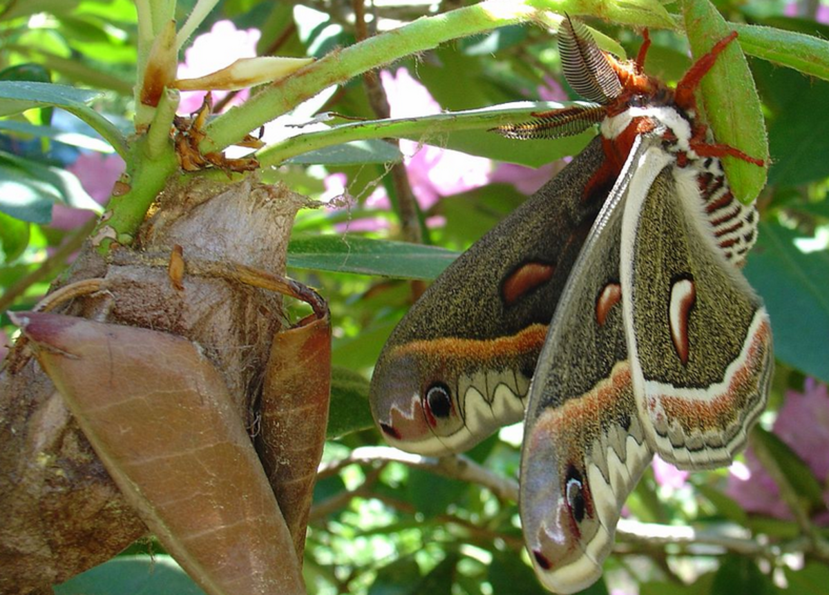 A male cecropia moth shortly after emerging from its cocoon (left)