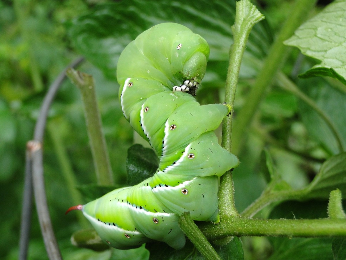 The big, heavy tomato hornworm is one of the most common big caterpillars in North America