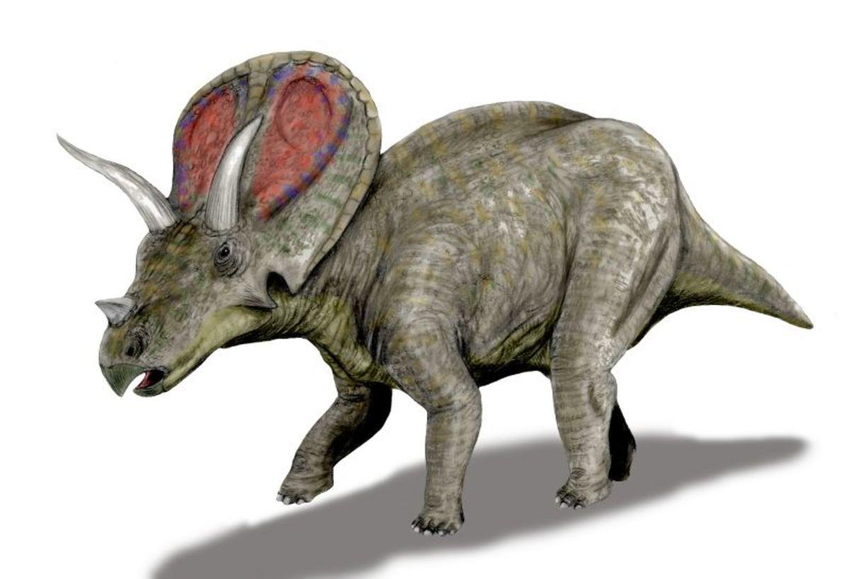 Reconstruction of the Torosaurus.
