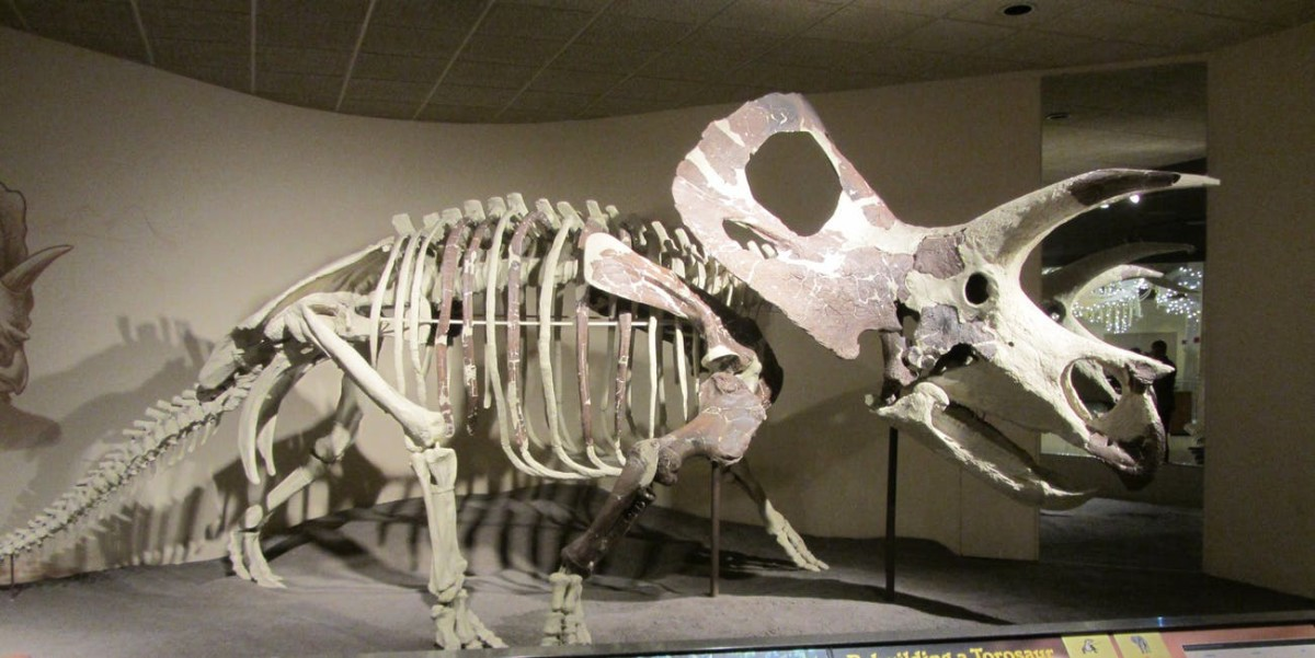 if-the-torosaurus-is-a-mature-form-of-triceratops
