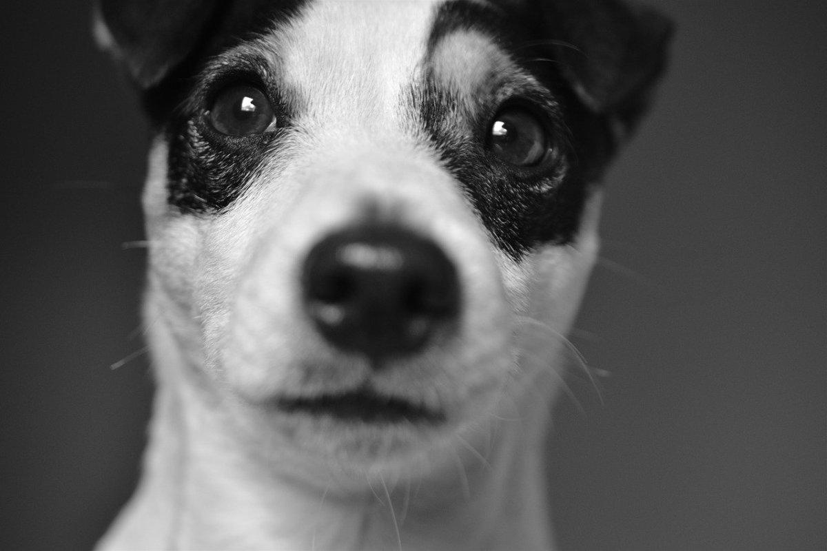 Jackawawa - Jack Russell Chihuahua Mix
