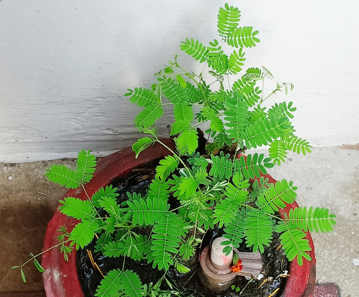 Does It Make Deities Happy If One Worships Shami Tree (Prosopis cineraria)