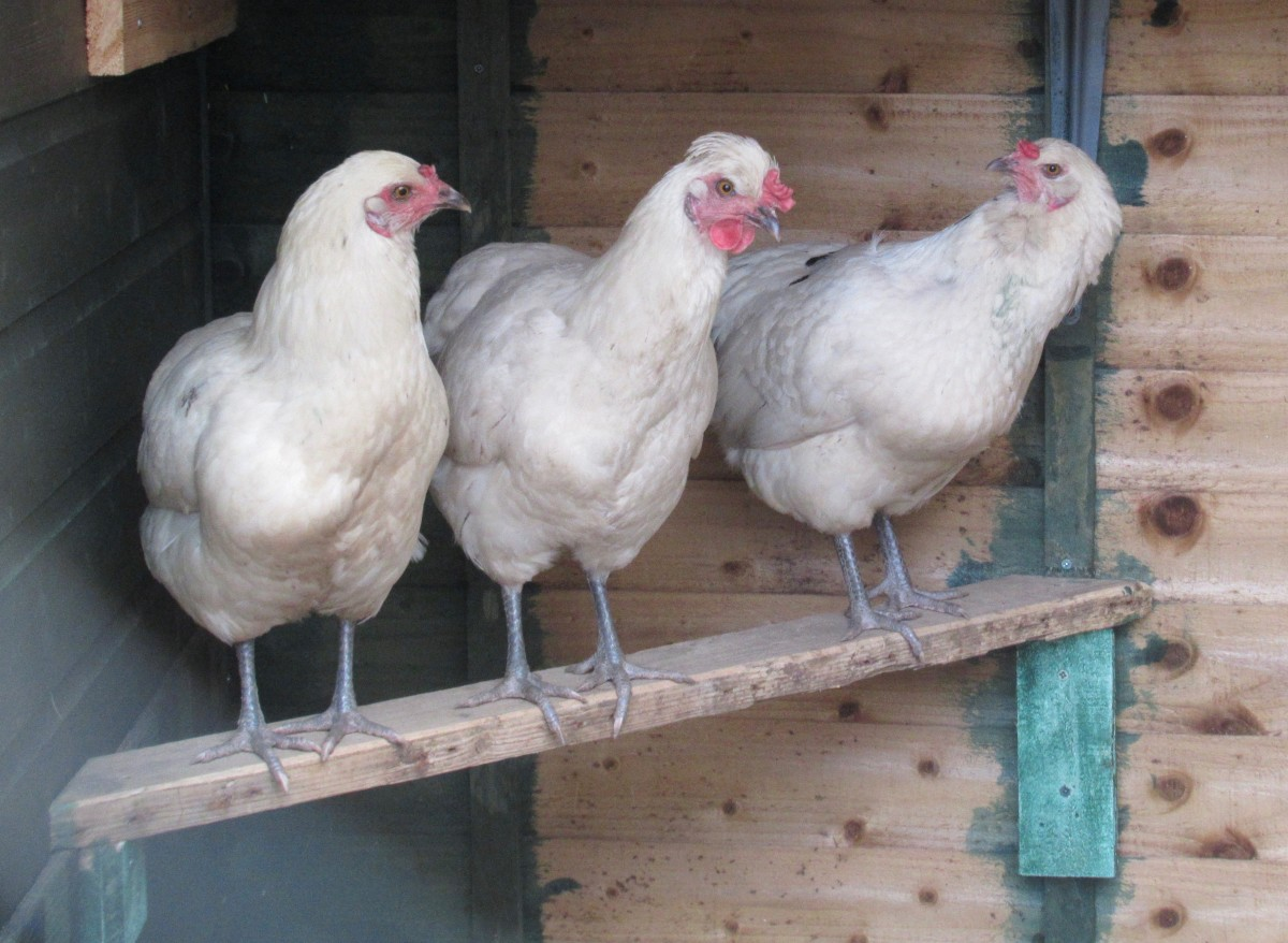 Pretty Maids all in a Row, on the Roost