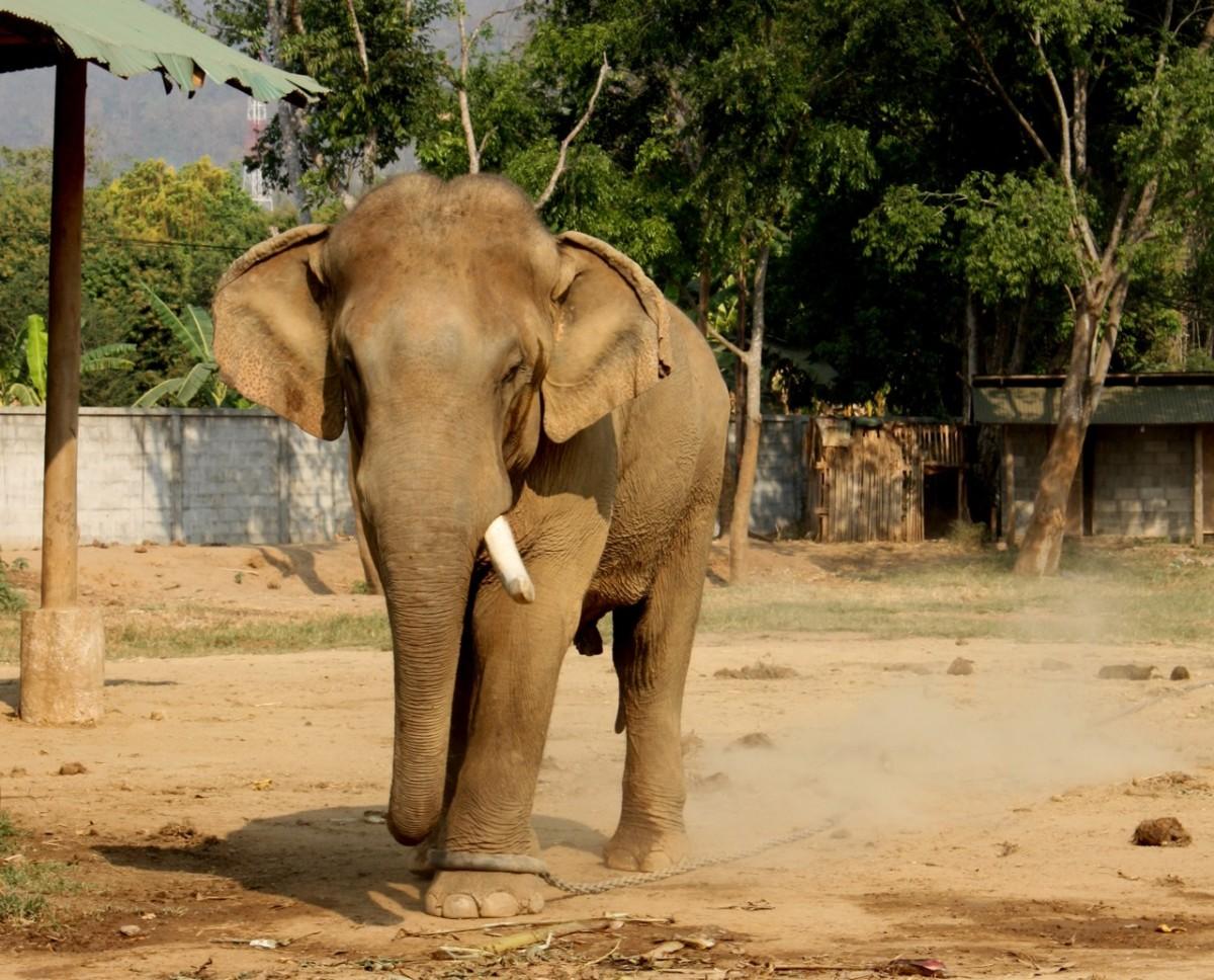Bull elephant in musth