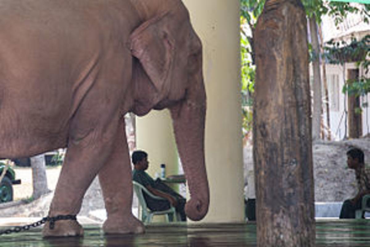A white elephant in Burma