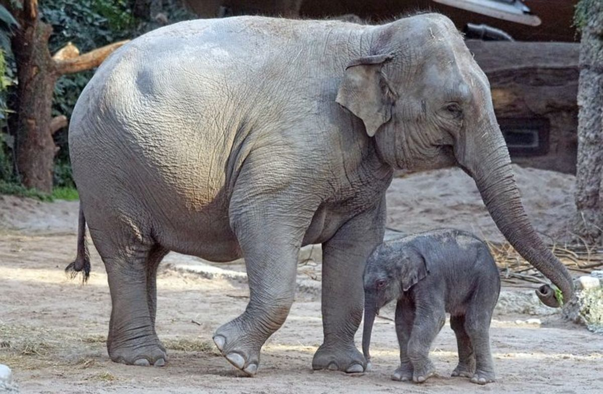 Facts About Elephants: Their Species, Habitat, and Characteristics
