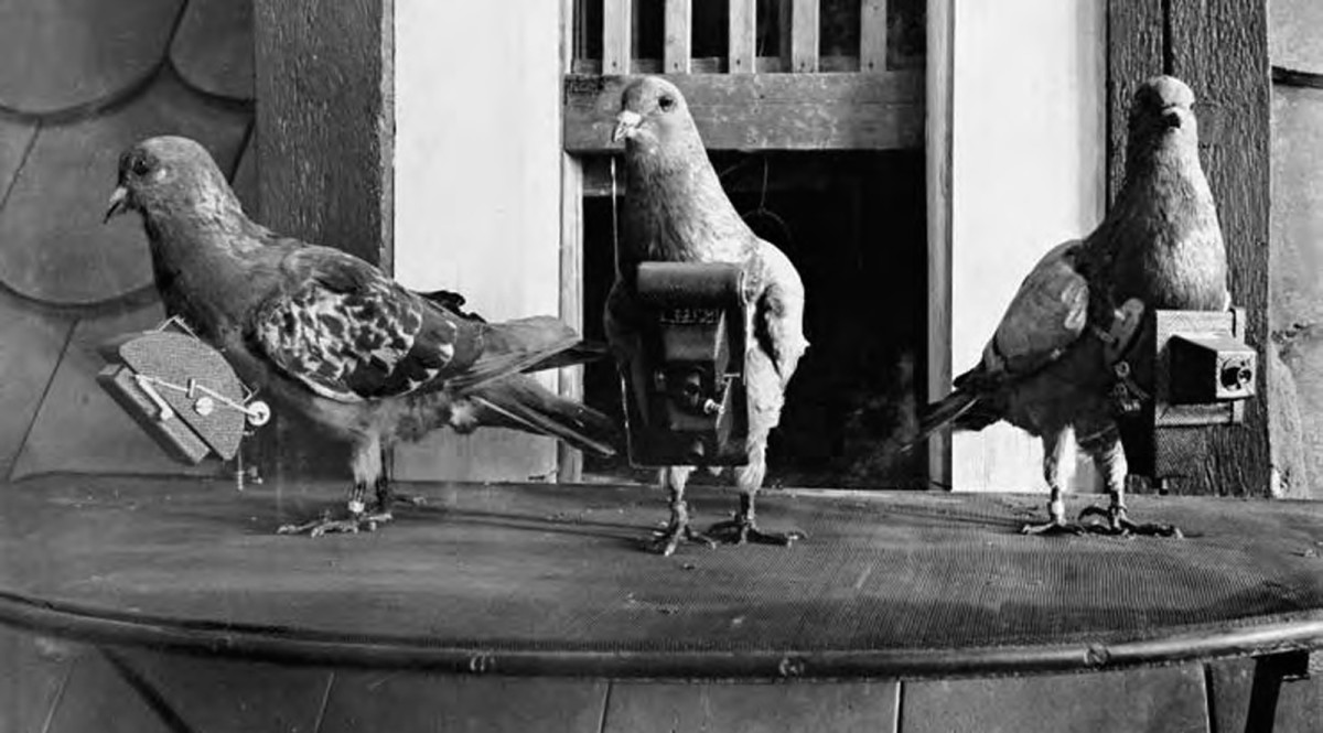 Julius Neubronner's pigeons with camera in 1903.