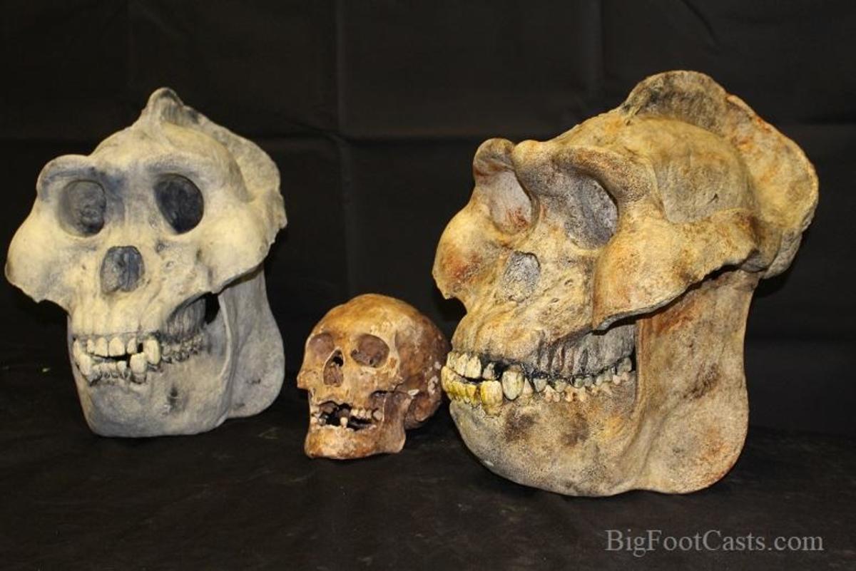 Gigantopithecus Skull