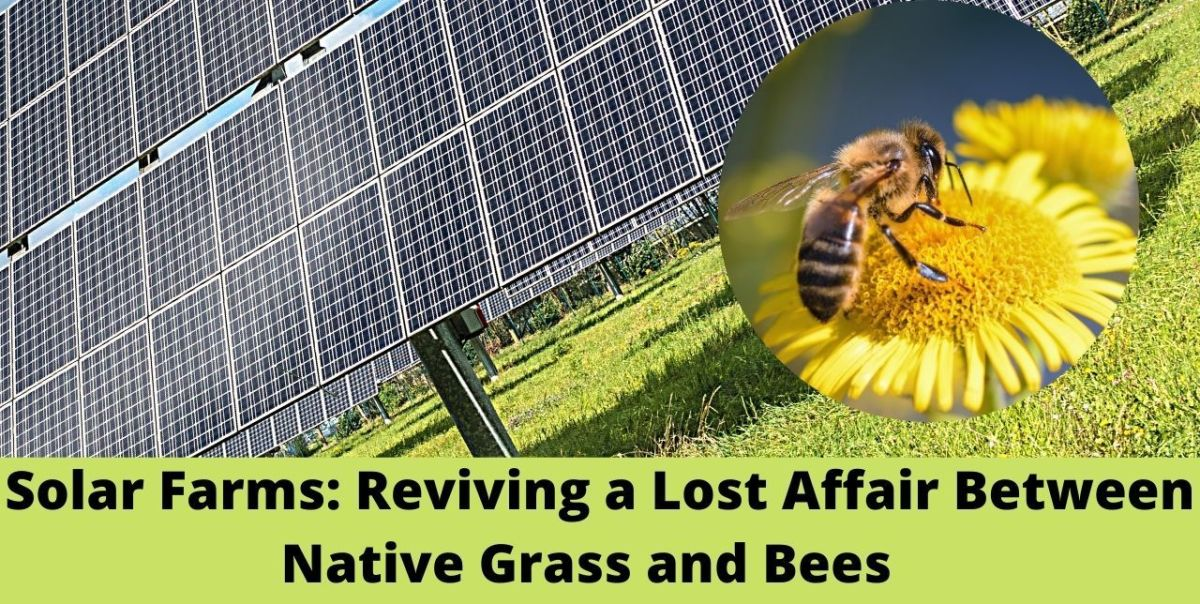 Solar Farms Have Lead to the Growth of Native Grass, Thereby Helping Bees Return!