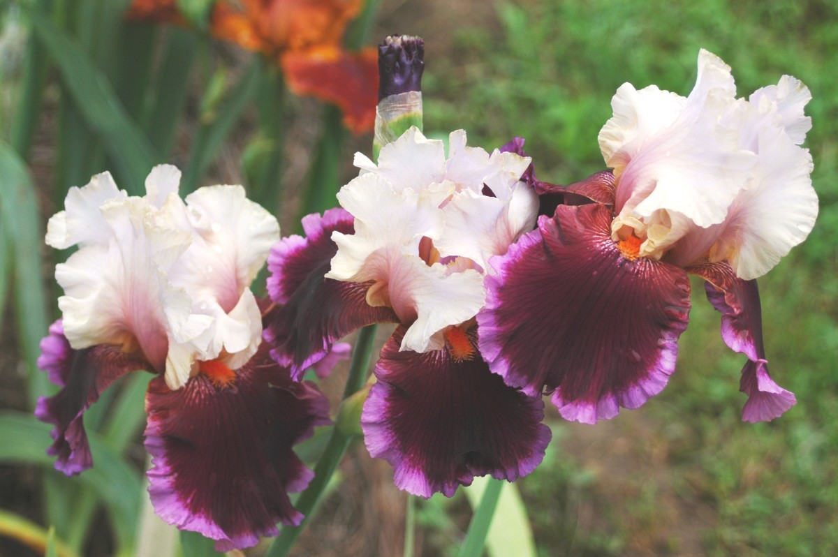 Stunning Tall Bearded Irises - a Hobby Gardener's Guide to Growing Iris and Selling on Ebay