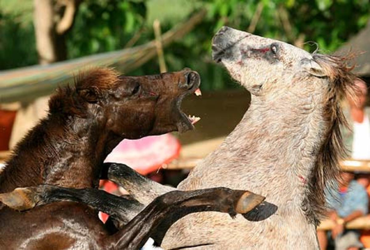 A stallion goes to bite its rival at an event in the Philippines