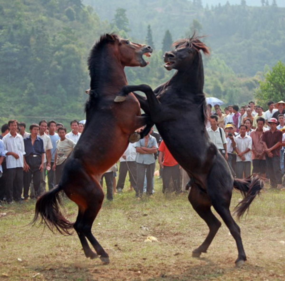 Animal cruelty: Horse fighting in China