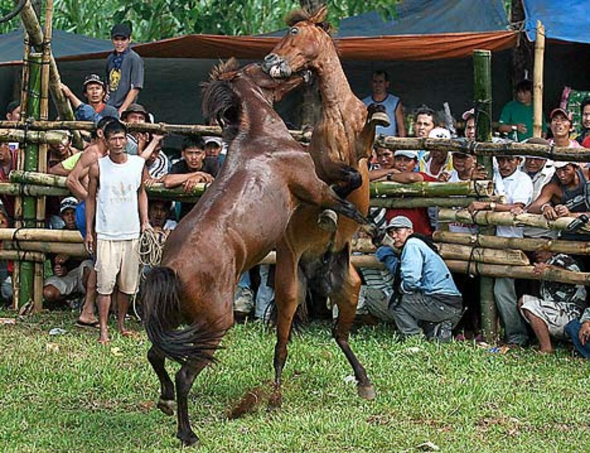 The frenzied horses sweat as the excited crowd looks on