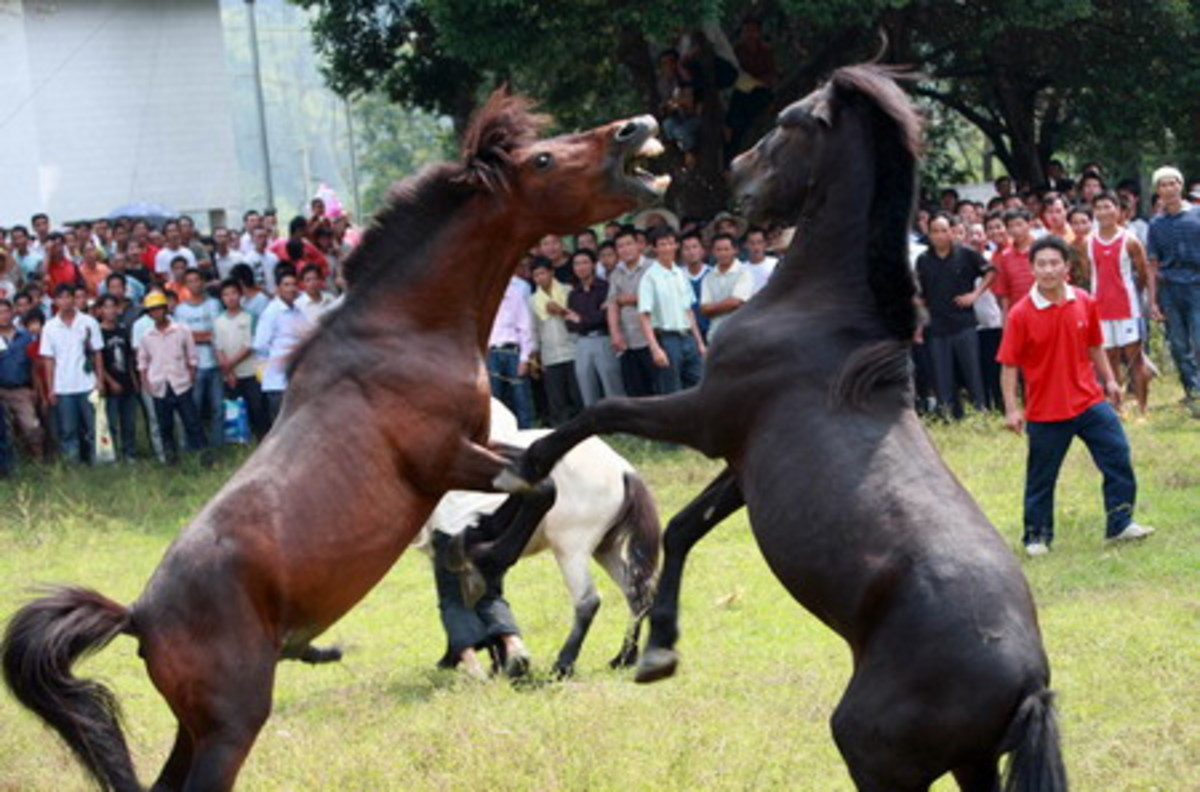 Two more stallions clash at the festival in Guangxi Zhuang