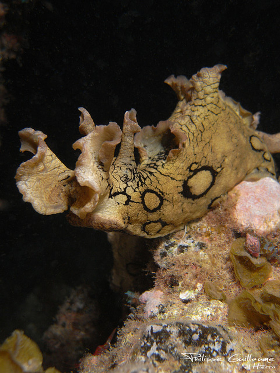 Aplysia dactylomela - Annulated sea hare